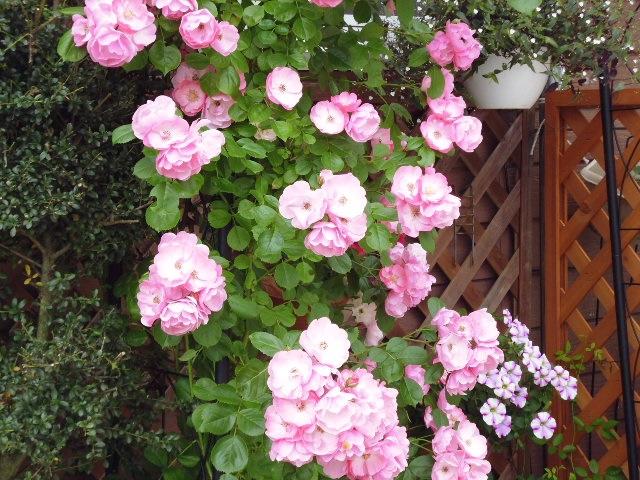 ピンクの薔薇2.jpg